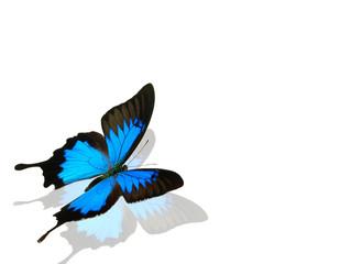 Fotobehang Vlinders in Grunge Papilio ulysses on white background