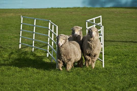 Three sheep running through gate. Conceptual image