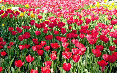 Spring field of tulips