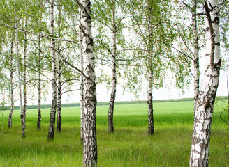 Garden Poster Birch Grove Summer birchwood