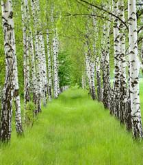Spoed Foto op Canvas Berkbosje Summer birchwood