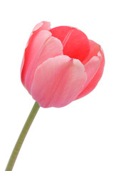Tulip, isolated on white