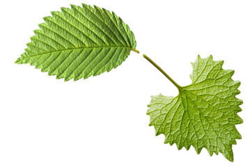 Garlic Mustard Leaf