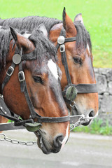 Pair of horses in a vehicle_2