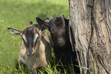 Two funny goatlings looking out of the tree stem