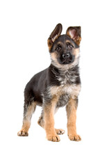 german shepherd puppy isolated on a white background
