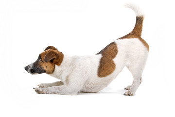 side view of a jack russel terrier dog playing