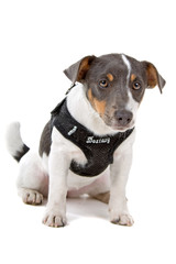 jack russel terrier dog looking at camera