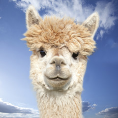 Photo sur Plexiglas Lama White alpaca watching you in front of blue sky with clouds