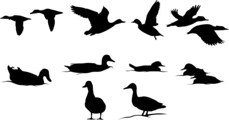 Ducks Wall mural