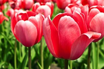 Pink beautiful tulips