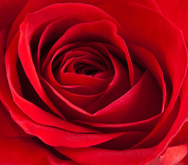 Close-up of a beautiful red rose