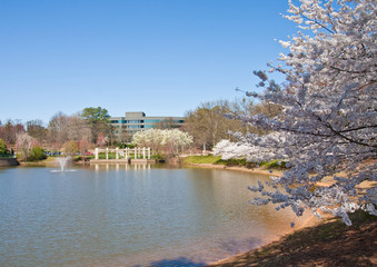 Cherry Tree by Lake in Office Park
