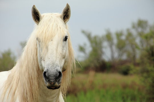 cheval de Camargue - France