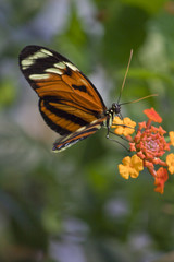 Monarchfalter 4