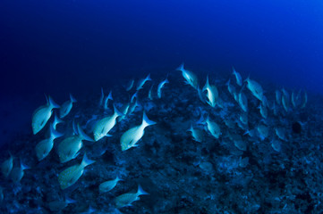school of snapper