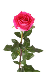 beautiful pink rose on  white background