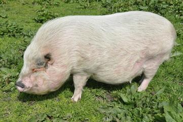 Hängebauchschwein auf Wiese