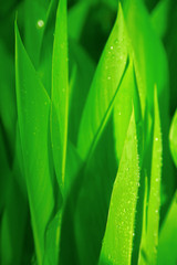bright green juicy leaves of plant with water drops