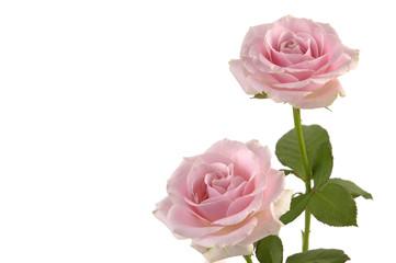 Macro of pink rose