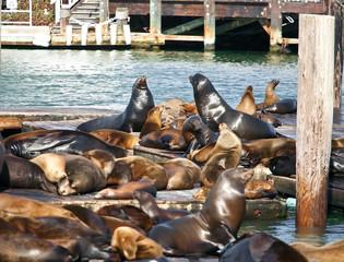 Sea Lions near Pier 39 in San Francisco