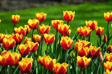 Fotorollo Tulpen Tulpen Meer