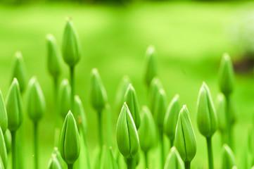Aluminium Prints Tulip Frische Blumen