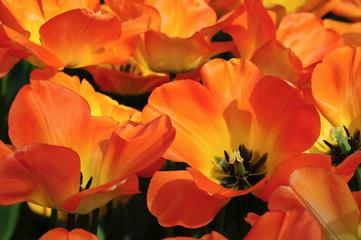 Fotorollo Tulpen Tulpen im Park