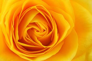 Spoed Fotobehang Macro Yellow rose background