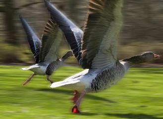 Anser anser, Greylag Goose, starting to fly