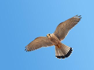 Kestrel (Falco tinnunculus) Wall mural