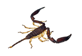 Large scorpion isolated over white