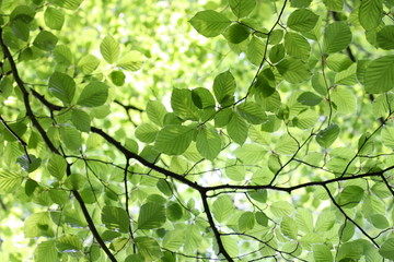 New green Beech leaves in bright sunlight