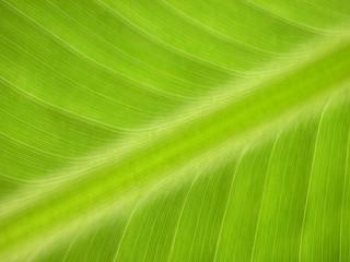 Bananenblatt 4