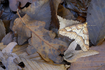 Mimetic brown striped moth among dead leaves