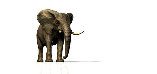 elefant frontal