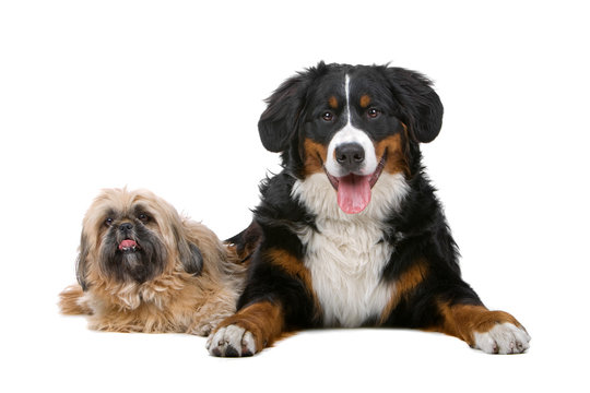 Shih tzu and a Bernese mountain dog isolated on white