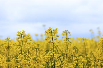 Rapsfeld zur Herstellung von Biodiesel