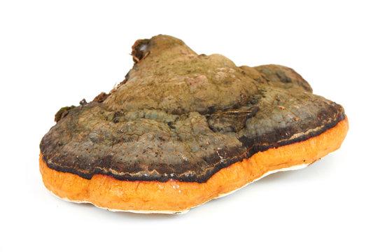 Fungus chaga