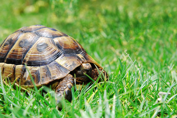 hiding turtle on green grass