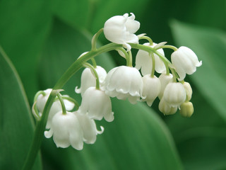 Fotorolgordijn Lelietje van dalen lily of the valley