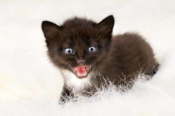 fluffy little kitten