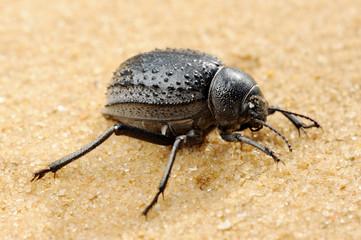 Darkling beetle on the sand