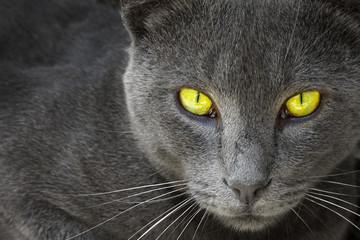 Gray cat look in an lens.