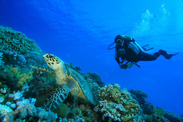 Scuba Diver watches Hawksbill Turtle