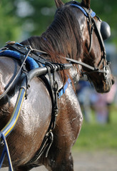 Horse: Harness racing