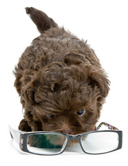 Puppy of the lapdog and glasses