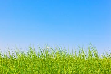 Foto op Plexiglas Weide, Moeras Healthy grass