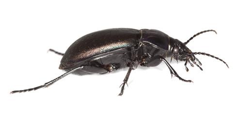 Ground beetle (Carabus nemoralis) isolated.