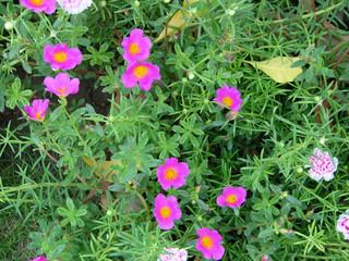 pink flowers in gardens